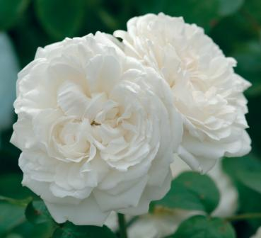 Winchester Cathedral®   Strauchrose