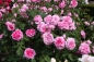 Mobile Preview: Gertrude Jekyll®   Strauchrose