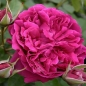 Preview: William Shakespeare®2000   Strauchrose