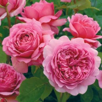 Princess Alexandra of Kent®   Strauchrose