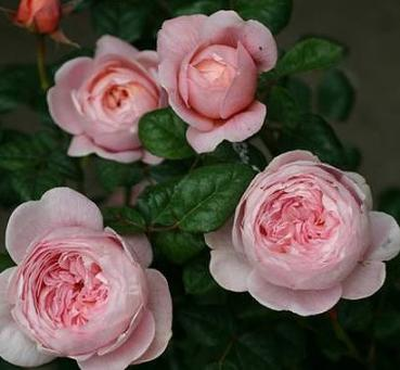 Queen of Sweden®  Strauchrose
