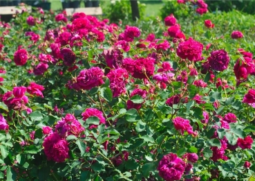 William Shakespeare®2000   Strauchrose