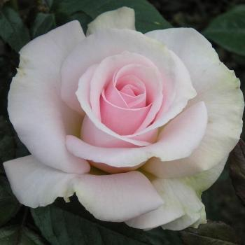 A Whiter Shade of Pale ® Edelrose