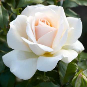 Chandos Beauty®   Edelrose
