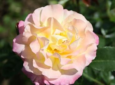 Gloria Dei  syn. 'Peace', 'Mme. Antoine Meilland', 'Gioia'  Edelrose Container 4 Liter
