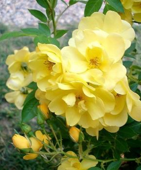 Golden Age ® - Rambler Rose