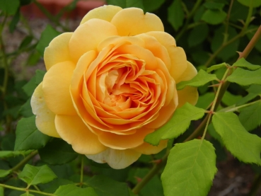 Golden Celebration   Strauchrose