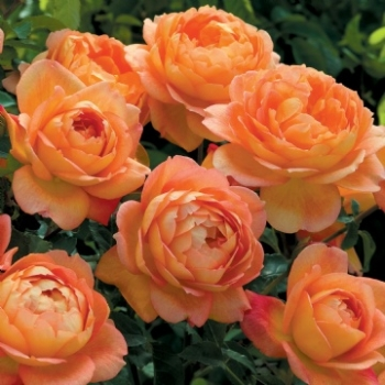 Lady of Shalott ® Strauchrose