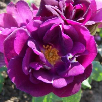 Royal Celebration Strauchrose