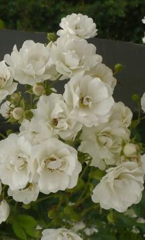 White Flight Ramblerrose