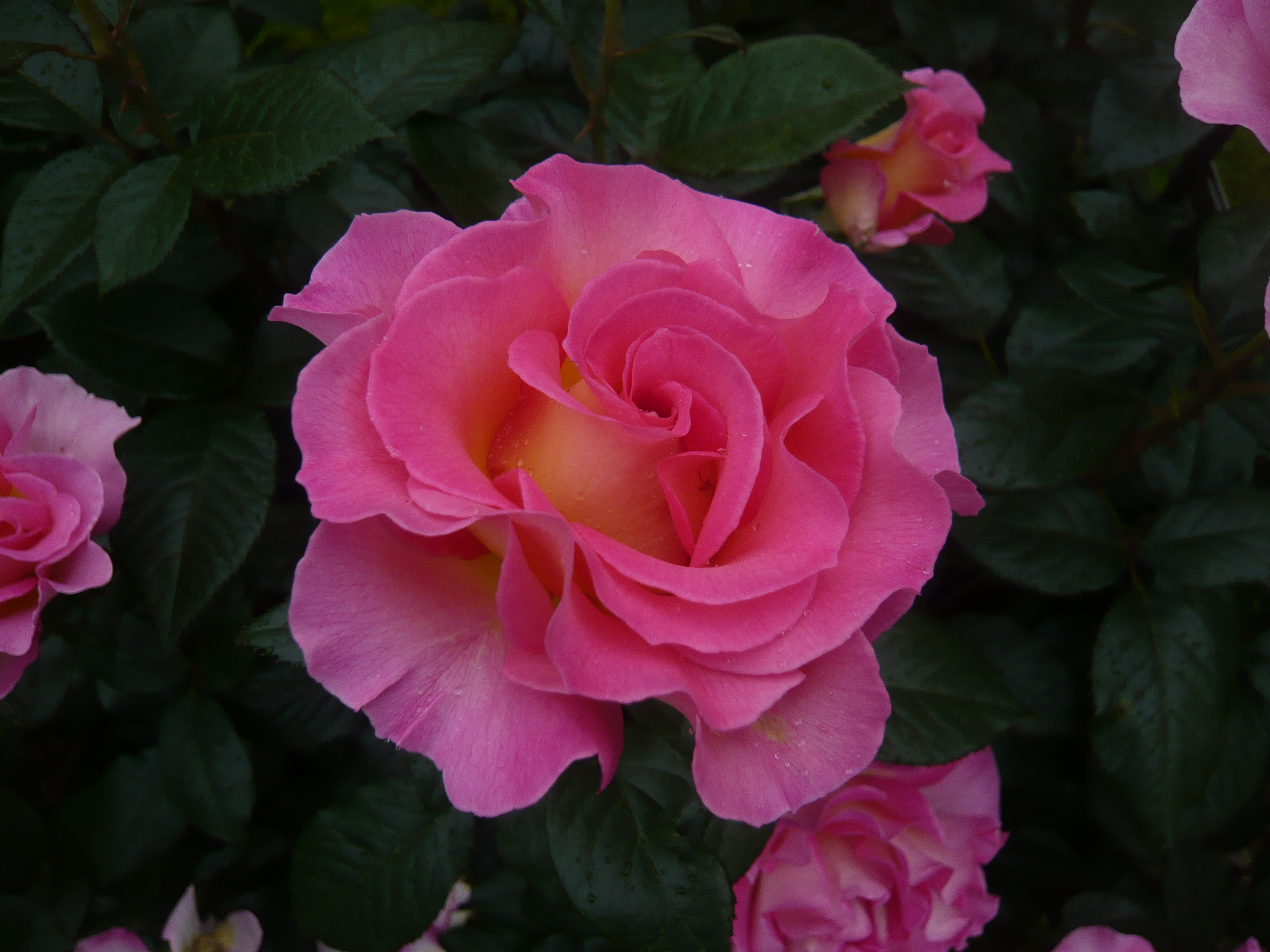 представлены роза парадиз фото и описание материалов
