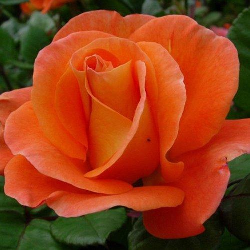 Kletterrose`Orange Dawn/®/´
