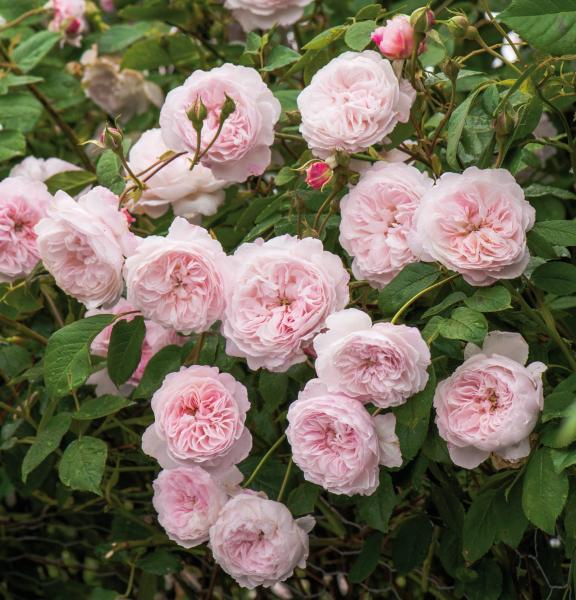 The Albrighton Rambler ® - Rambler Rose