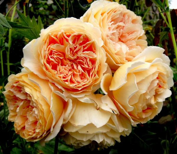 Crown Princess Margareta®  Strauchrose