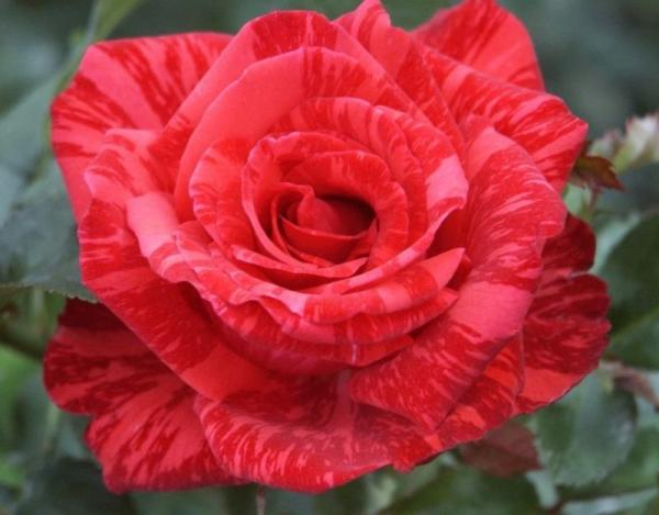 Red Intuition®   Edelrose