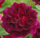 Munstead Wood®   Strauchrose